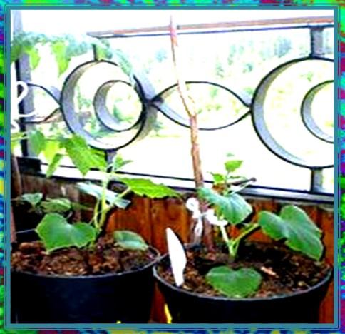 огурцы на балконе фото