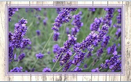 цветет лаванда фото