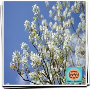 цветет ирга фото