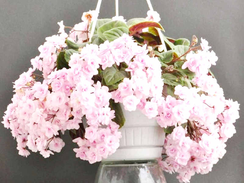 сенполии цветущие