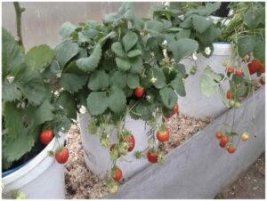 земляника-выращивание в вертикальных трубах