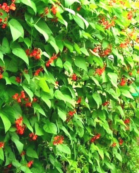 фасоль с красными цветками