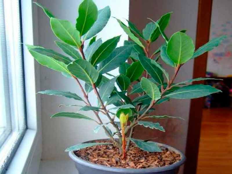 Лавровое дерево Фото